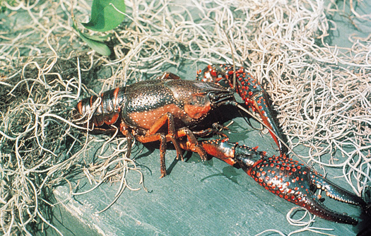 State Crustacean Crawfish