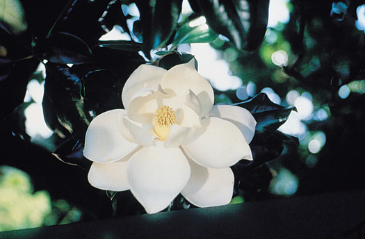 State Flower Magnolia