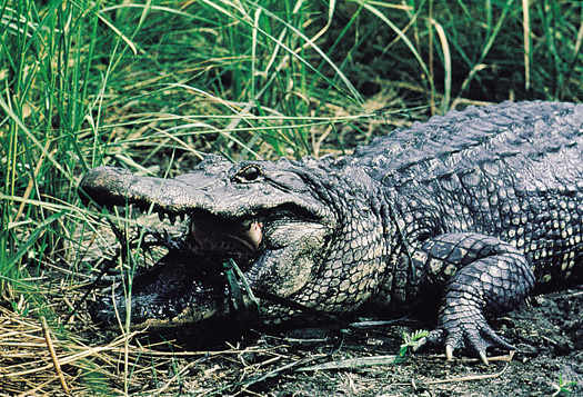 State Reptile Alligator